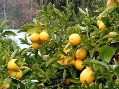 Έκλεψαν 200 κιλά λεμόνια από κτήμα στο Κιάτο